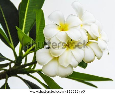 White Plumerias flowers on white background - stock photo