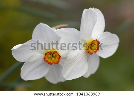 White poets daffodil flower latin name stock photo royalty free white poets daffodil flower latin name narcissus early spring green defocused background mightylinksfo
