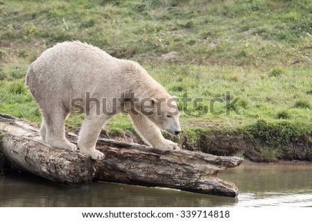 White polar bear in the nature  - stock photo