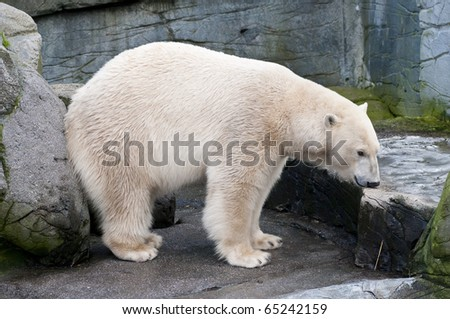 White polar bear of the arctic sea