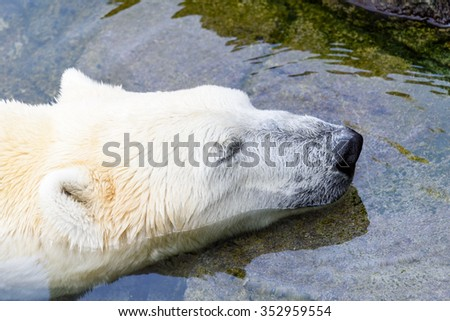 White Polar Bear Relaxing In Water