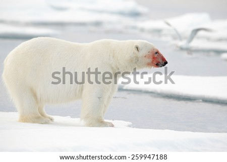 White polar bear with red bloody face on drift ice, at Arctic Svalbard - stock photo