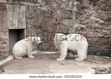 White polar bears in zoo - stock photo
