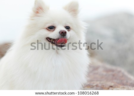 white pomeranian dog - stock photo