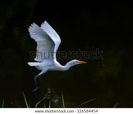White Pond Heron spread the wings.A little reflection on water surface.