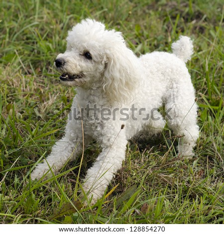 White poodle dog playing on grass lawn or a meadow. - stock photo