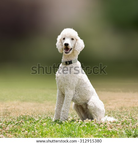 White poodle dog portrait. - stock photo