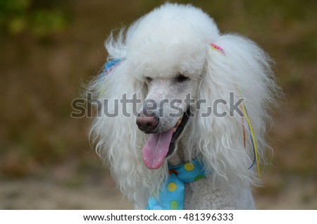 White poodle groomed and posing.
