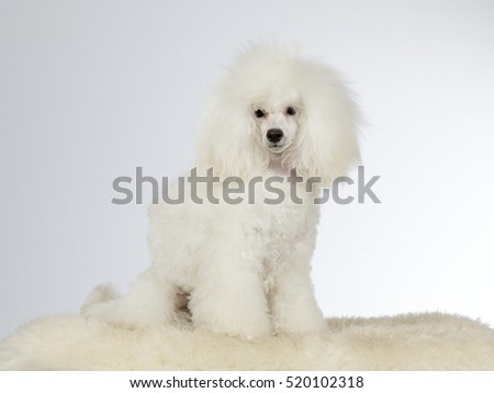 White poodle. Image taken in a studio.