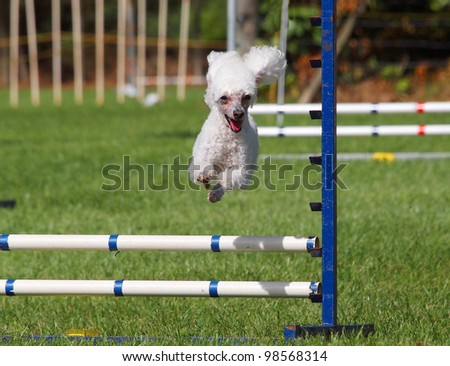 White Poodle jumping over an agility jump - stock photo