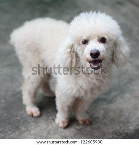 White poodle puppy - stock photo
