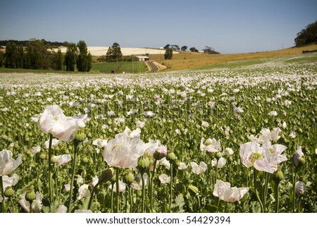 White poppies in a field of green on a sunny day
