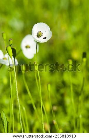 White Poppy Flowers On Meadow Stock Photo (Royalty Free) 235818910 ...