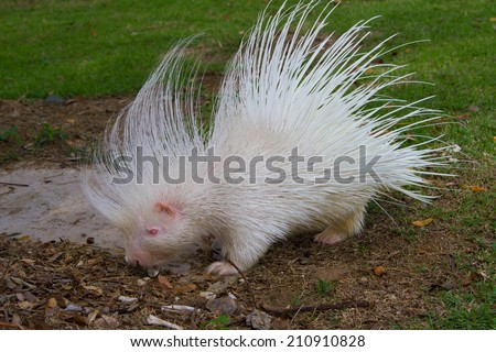 White Porcupine  - stock photo