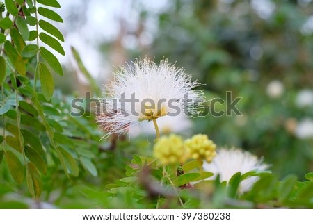 White powderpuff flower