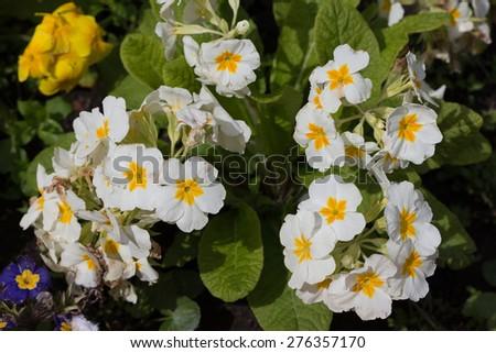 White Primroses (Primula vulgaris) Flowers in a Flower Garden - stock photo