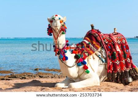 White proud camel resting on the Egyptian beach. Camelus dromedarius. Summertime outdoors. - stock photo