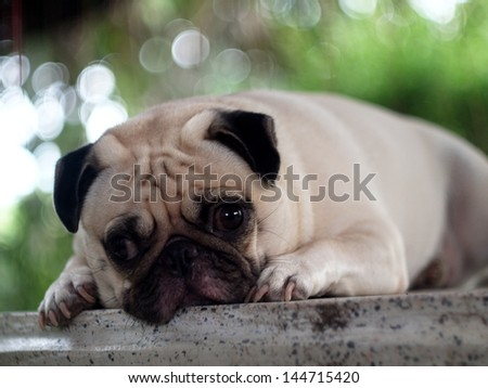 white pug laying on a table