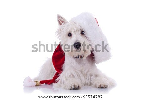 White puppy dresed in santa claus costume oer white