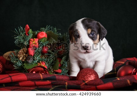 white puppy jack russell terrier on black dark background isolated on red tartan fabric with christmas decoration - stock photo