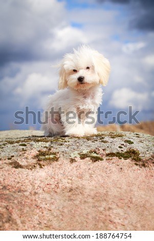 White Puppy Maltese dog - stock photo
