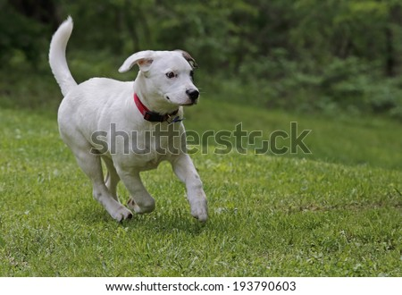 White puppy running outside on the grass