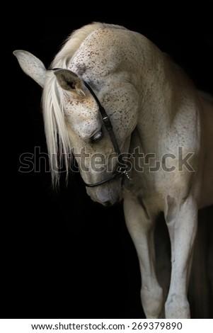 White purebred arabian stallion on black background. - stock photo