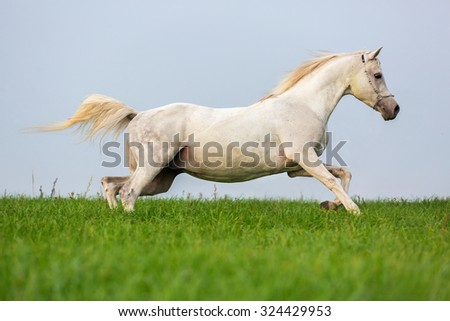 White purebred Arabian stallion running on blue sky background.