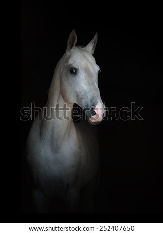 white purebred horse isolated on a black - stock photo