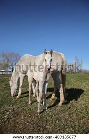 white quarter horse and foal standing in a field grazing on grass