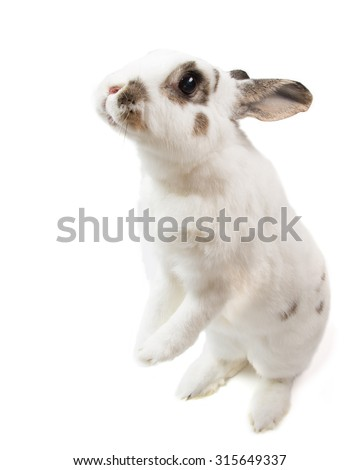 white rabbit Cute spotted stand up on white isolated looking for food