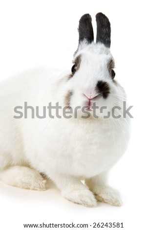 white rabbit isolated on white