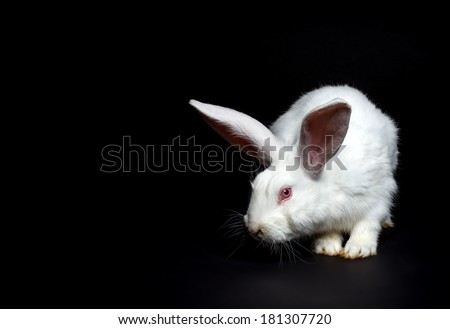 White rabbit on black background  - stock photo