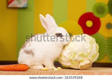 White rabbit with a large cabbage and carrots on a bright background scenery. - stock photo