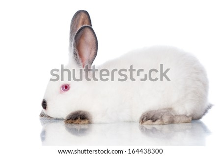 white rabbit with grey ears