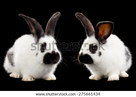 White rabbits isolated on black background - stock photo