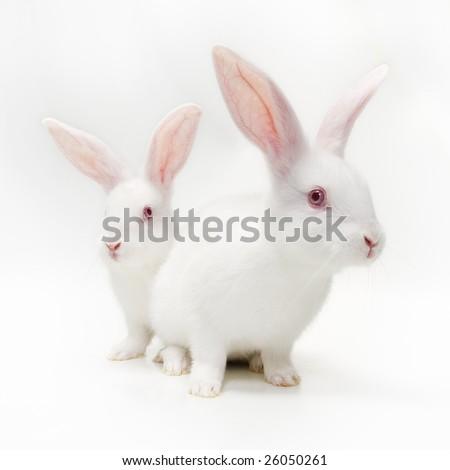 White Rabbits on white background - stock photo
