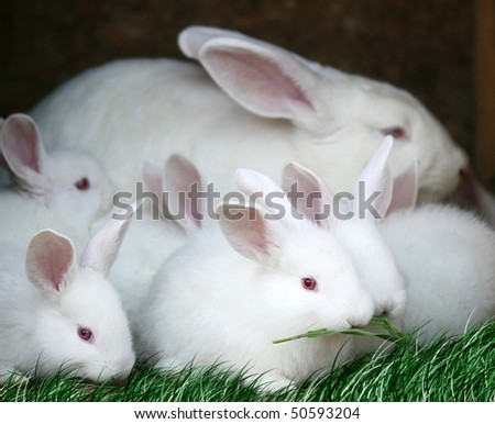 white rabbits with red eyes and very fluffy - stock photo