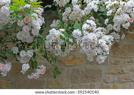 white rambler roses hanging over a stone wall of natural stones - stock photo