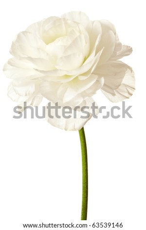 White Ranunculus Isolated on a White Background