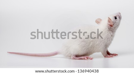 white rat - a pet animal - stock photo