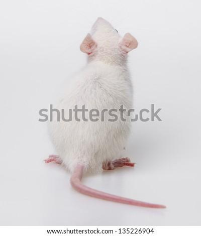 white rat back side - stock photo