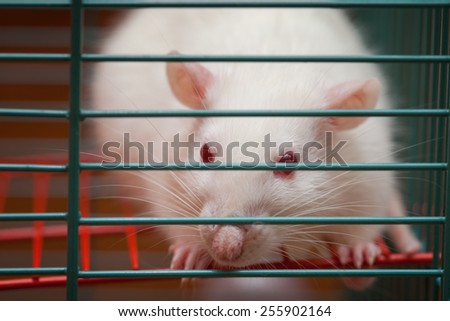 White rat in a cage - stock photo