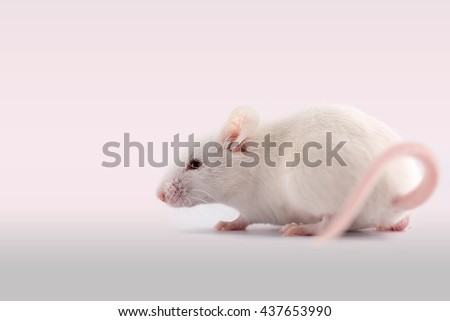 White rat on a white background. Vignette