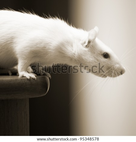 White rat sitting on a table - stock photo