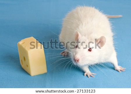 White rat with a piece of cheese - stock photo