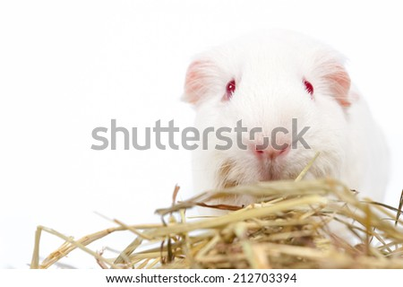 white rat with hay isolated - stock photo