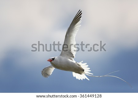 White Red-billed Tropicbird Phaethon aethereus in an elegant pose with a flowing tail and outspread wings against blue caribbean sky and clouds, during return to nesting place.Little Tobago.