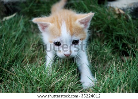 White-red kitten does the first steps on a green grass - stock photo