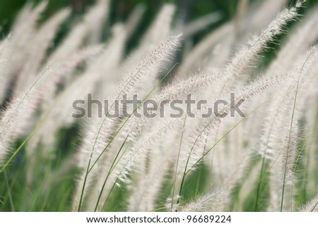 white reed. - stock photo